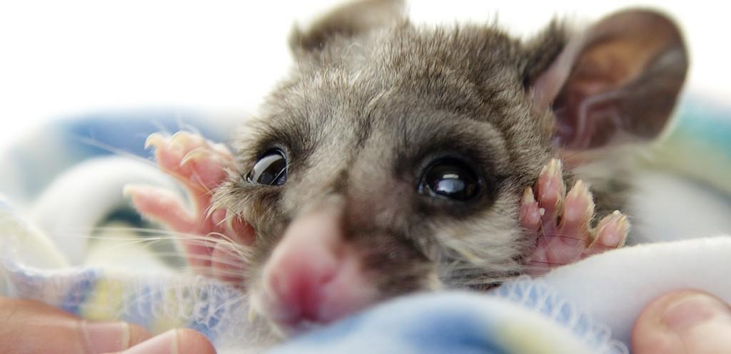 Perth marsupial vet
