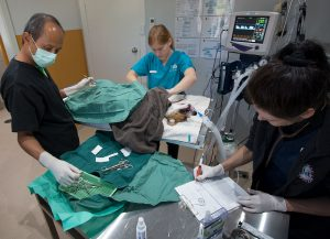 Surgical procedure at Animal Happiness Vet